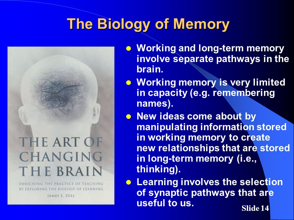 Slide 14 The Biology of Memory Working and long-term memory involve separate pathways in the brain.
