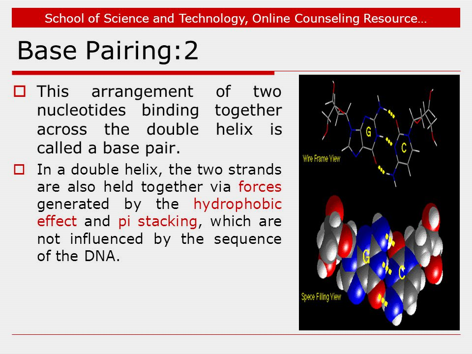 School of Science and Technology, Online Counseling Resource… Base Pairing:2  This arrangement of two nucleotides binding together across the double helix is called a base pair.