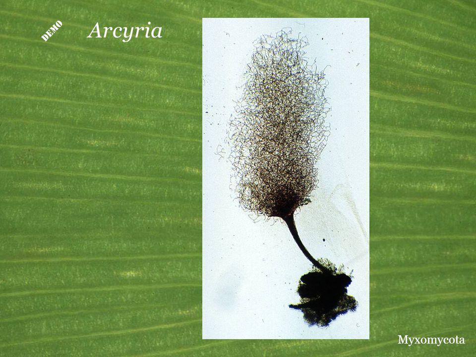  Arcyria Myxomycota