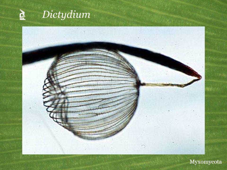  Dictydium Myxomycota