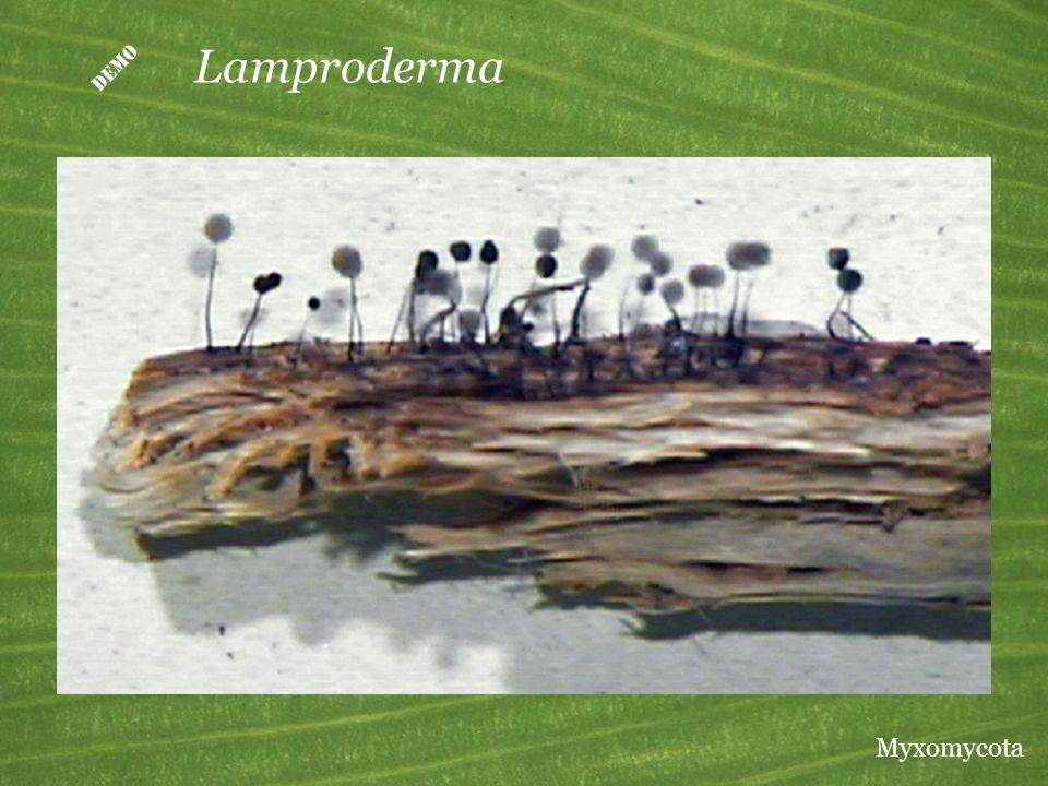  Lamproderma Myxomycota