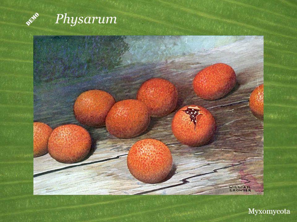  Physarum Myxomycota