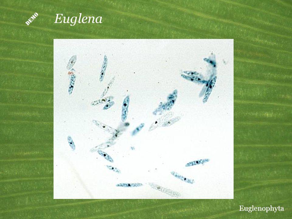  Euglena Euglenophyta