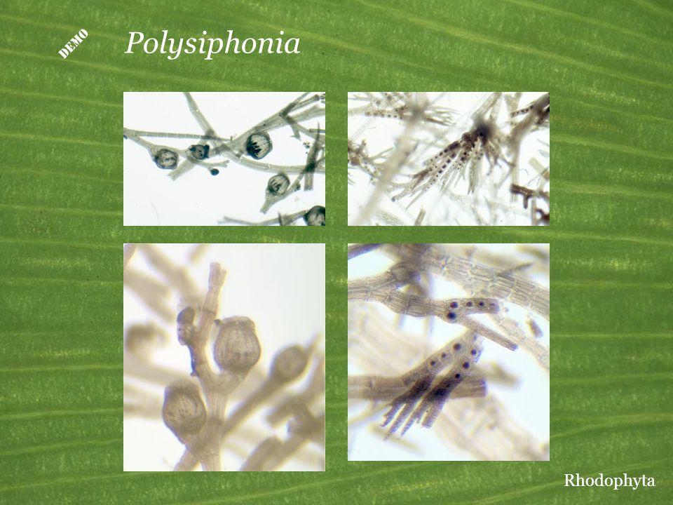  Polysiphonia Rhodophyta