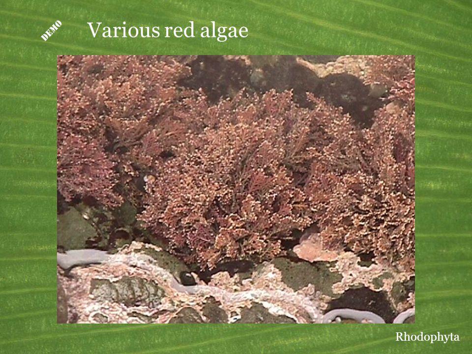  Various red algae Rhodophyta