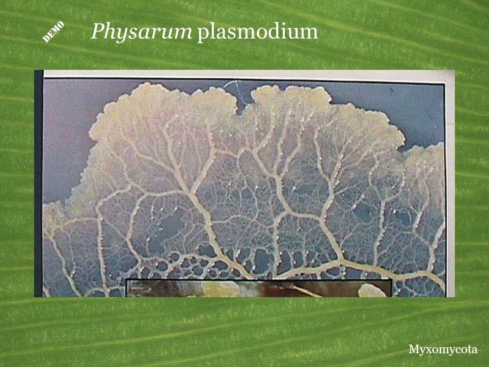  Physarum plasmodium Myxomycota