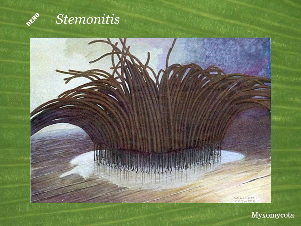  Stemonitis Myxomycota
