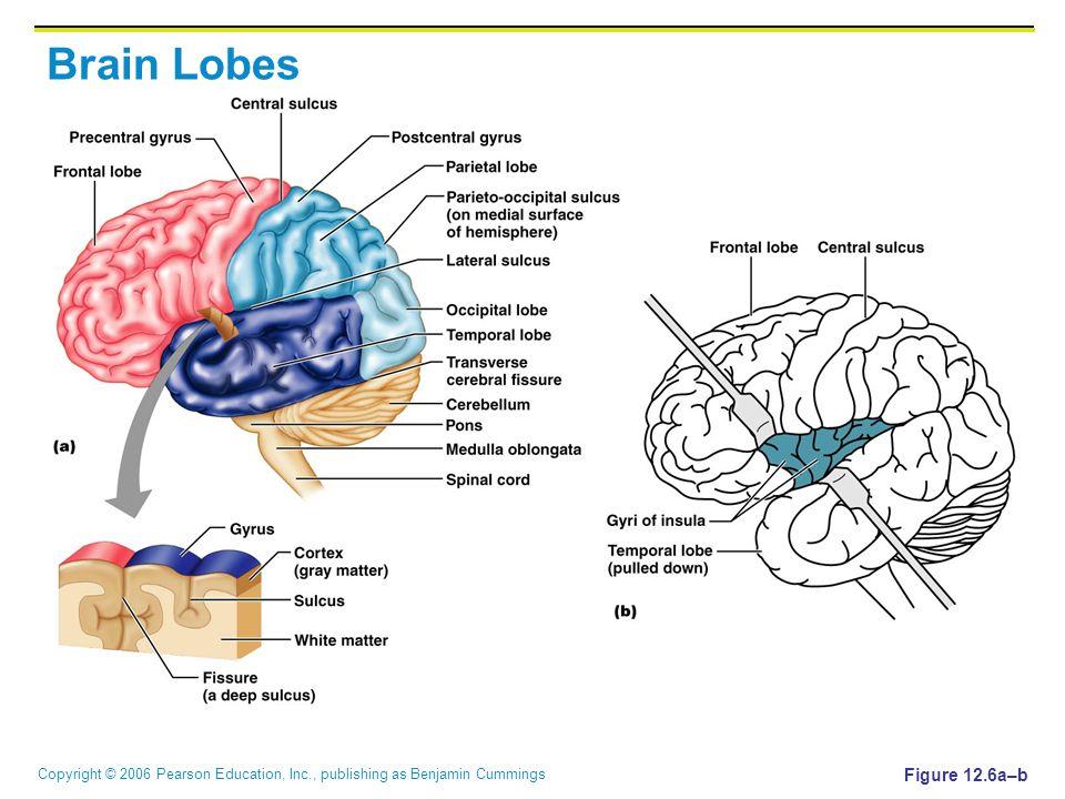 Copyright © 2006 Pearson Education, Inc., publishing as Benjamin Cummings Brain Lobes Figure 12.6a–b