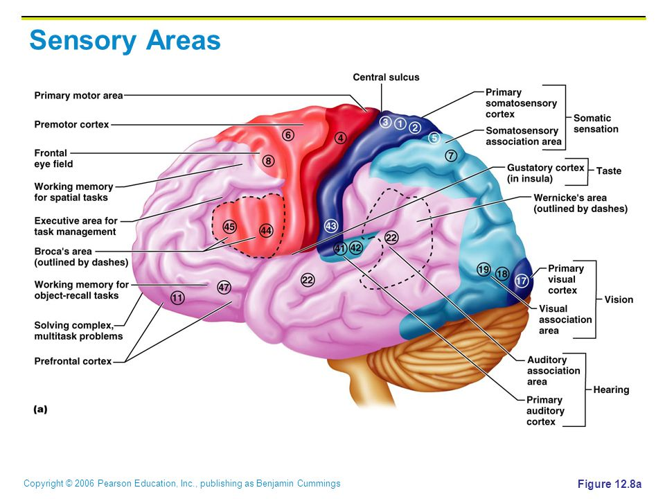Copyright © 2006 Pearson Education, Inc., publishing as Benjamin Cummings Sensory Areas Figure 12.8a