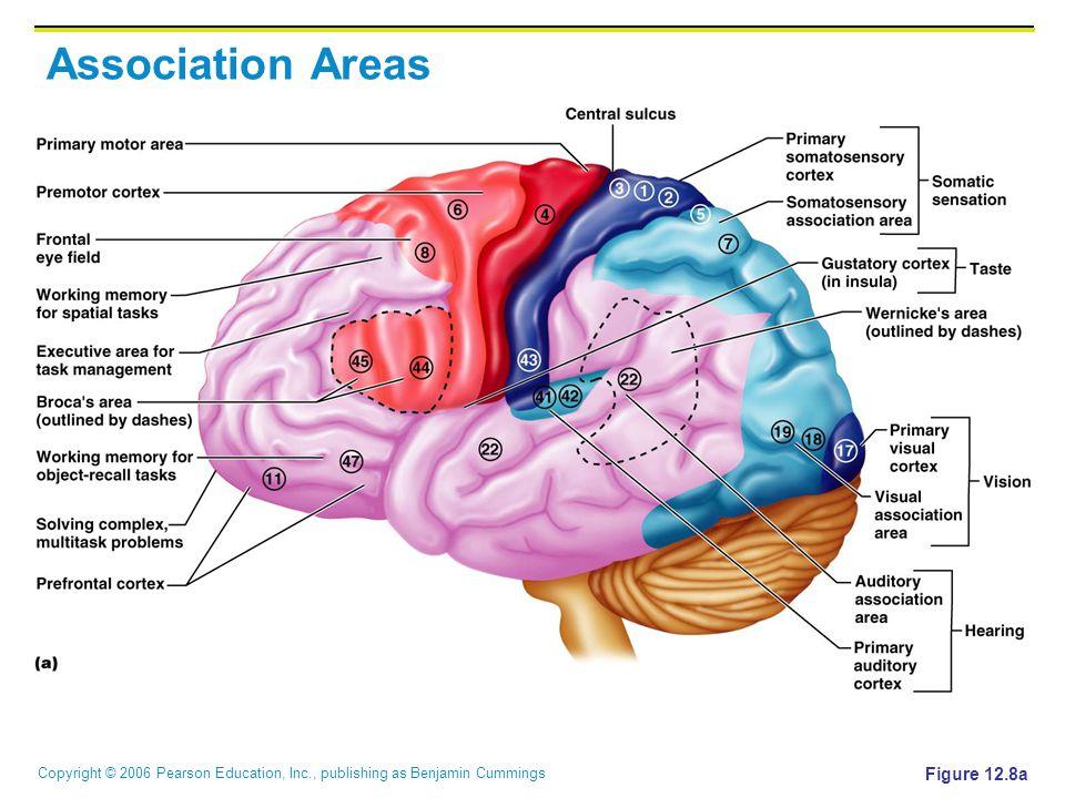Copyright © 2006 Pearson Education, Inc., publishing as Benjamin Cummings Association Areas Figure 12.8a