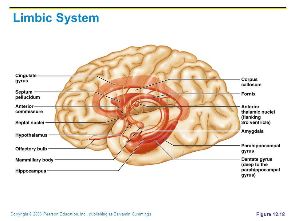 Copyright © 2006 Pearson Education, Inc., publishing as Benjamin Cummings Limbic System Figure 12.18