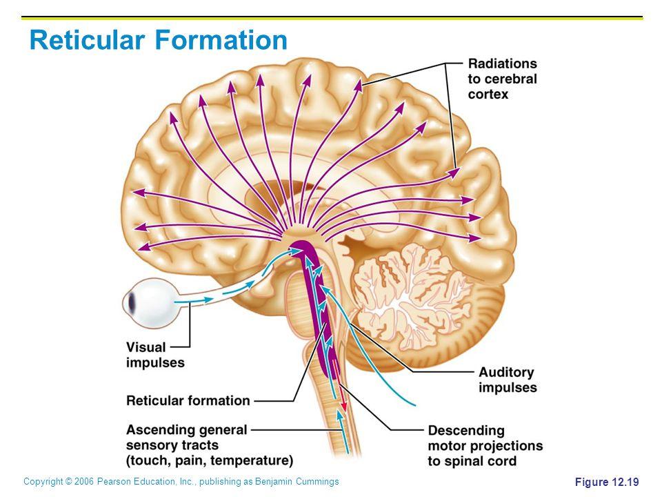 Copyright © 2006 Pearson Education, Inc., publishing as Benjamin Cummings Reticular Formation Figure 12.19