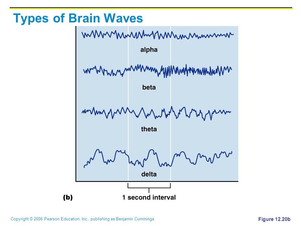 Copyright © 2006 Pearson Education, Inc., publishing as Benjamin Cummings Types of Brain Waves Figure 12.20b