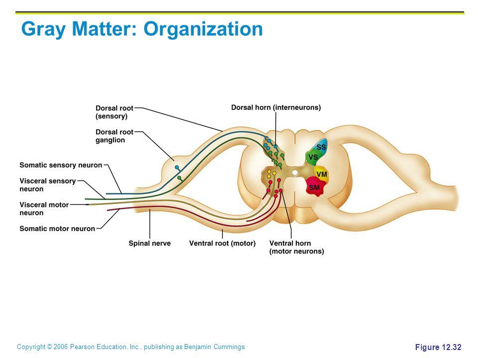 Copyright © 2006 Pearson Education, Inc., publishing as Benjamin Cummings Gray Matter: Organization Figure 12.32