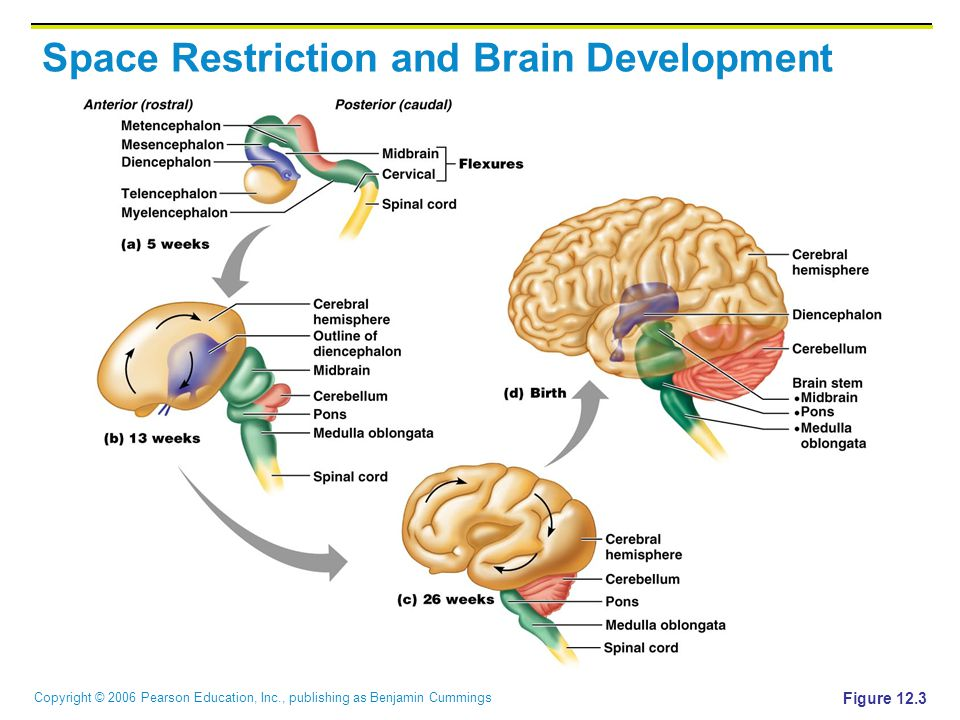 Copyright © 2006 Pearson Education, Inc., publishing as Benjamin Cummings Space Restriction and Brain Development Figure 12.3