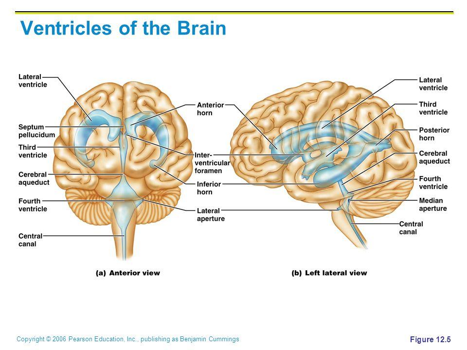 Copyright © 2006 Pearson Education, Inc., publishing as Benjamin Cummings Ventricles of the Brain Figure 12.5