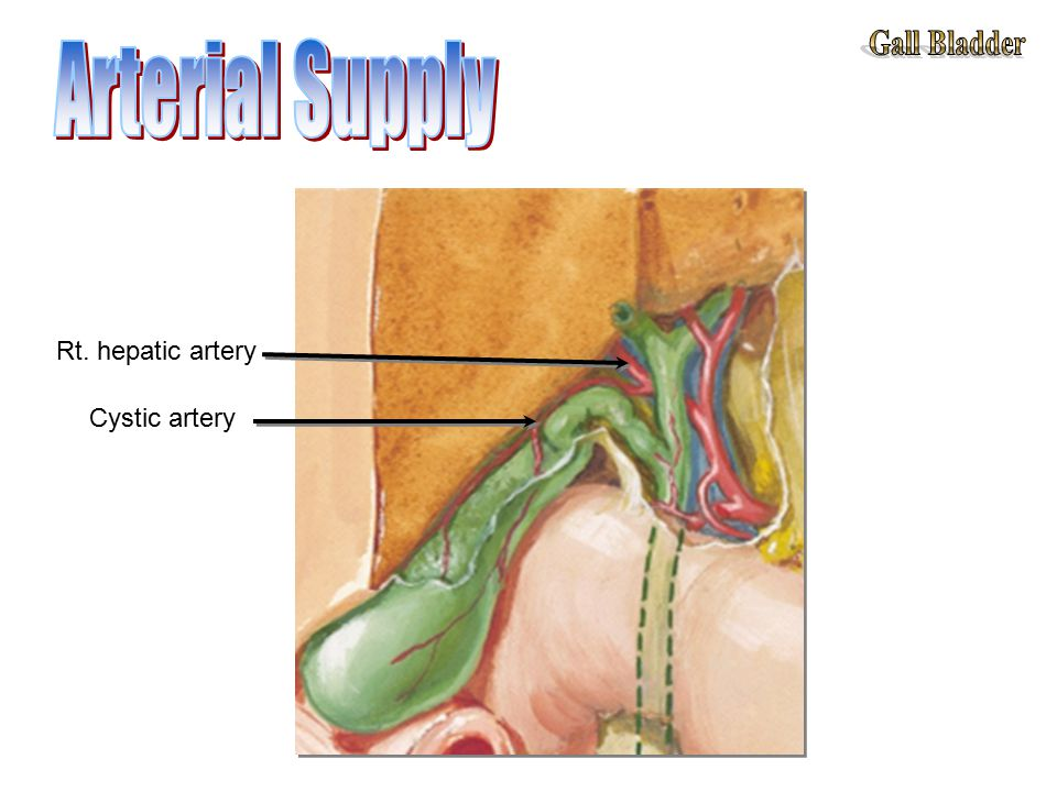 Cystic artery Rt. hepatic artery