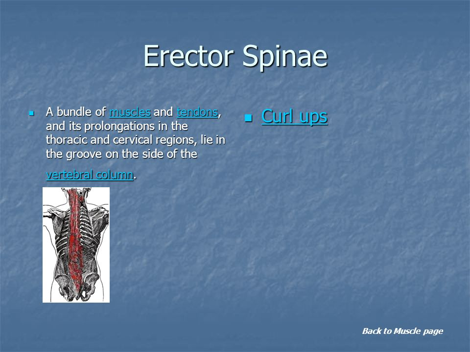 Erector Spinae A bundle of muscles and tendons, and its prolongations in the thoracic and cervical regions, lie in the groove on the side of the vertebral column.