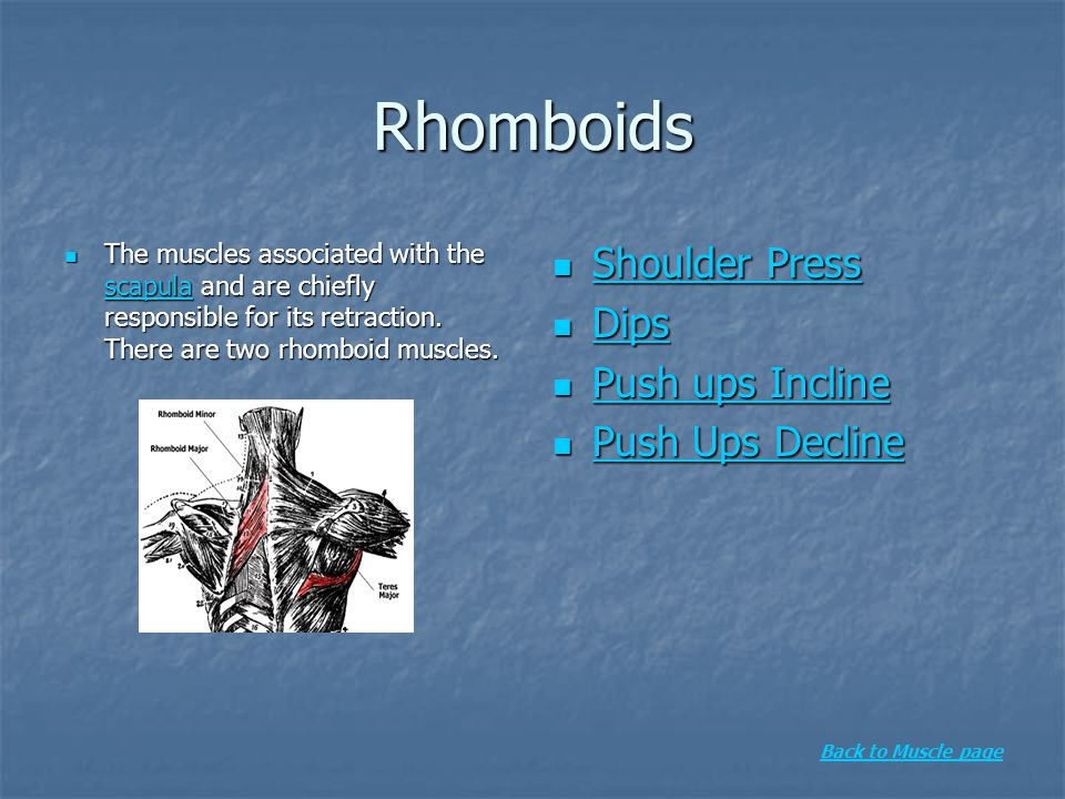 Rhomboids The muscles associated with the scapula and are chiefly responsible for its retraction. There are two rhomboid muscles. The muscles associat