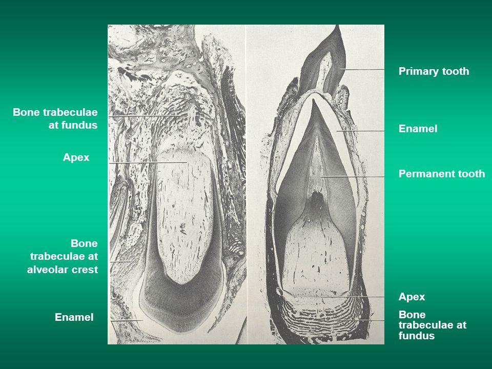 Primary tooth Enamel Permanent tooth Apex Bone trabeculae at fundus Apex Bone trabeculae at alveolar crest Enamel
