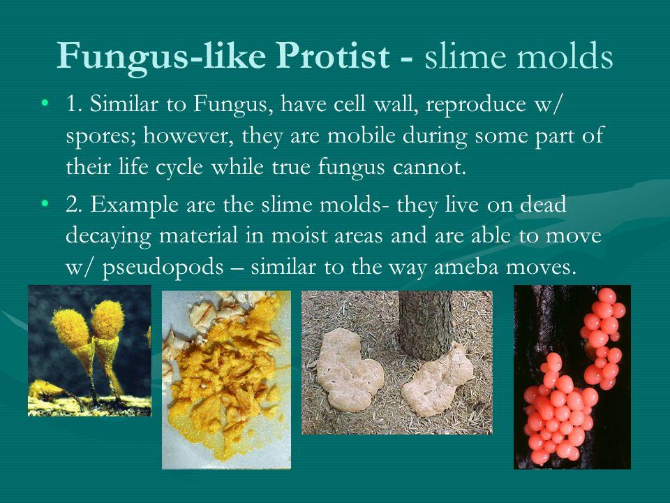 Fungus-like Protist - slime molds 1.