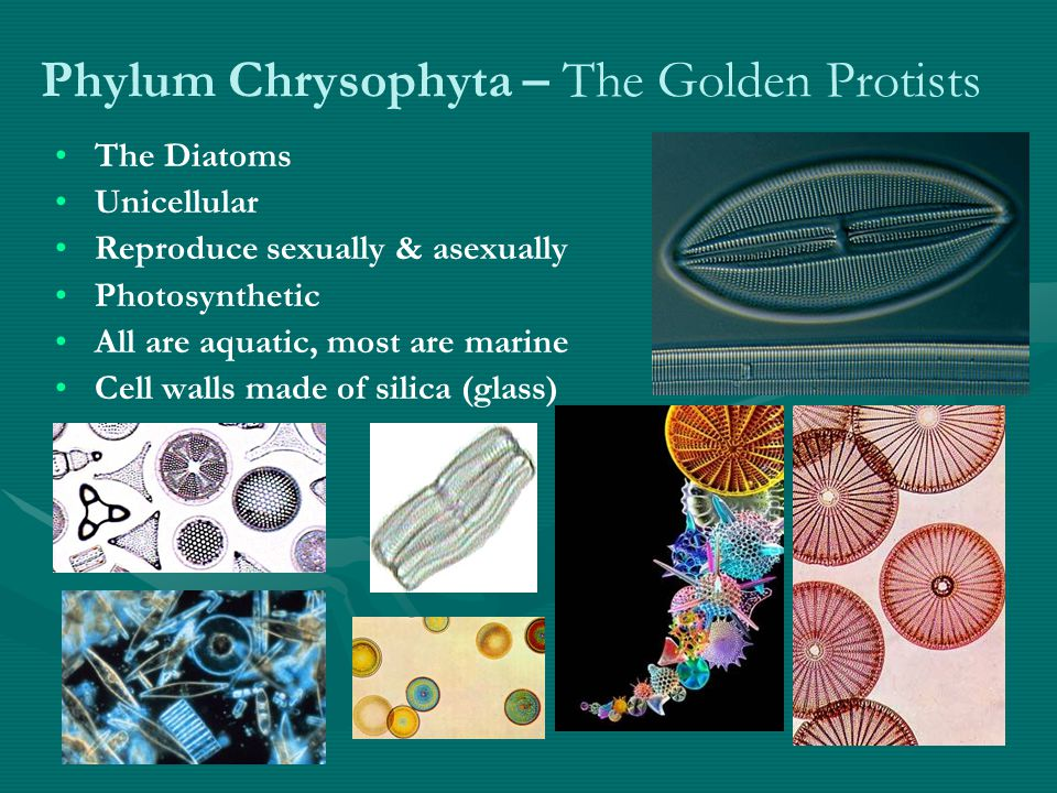 Phylum Chrysophyta – The Golden Protists The Diatoms Unicellular Reproduce sexually & asexually Photosynthetic All are aquatic, most are marine Cell walls made of silica (glass)