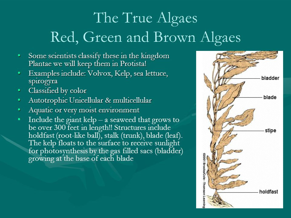 The True Algaes Red, Green and Brown Algaes Some scientists classify these in the kingdom Plantae we will keep them in Protista!Some scientists classify these in the kingdom Plantae we will keep them in Protista.