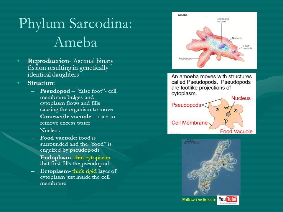 Sarcodina - Ameba