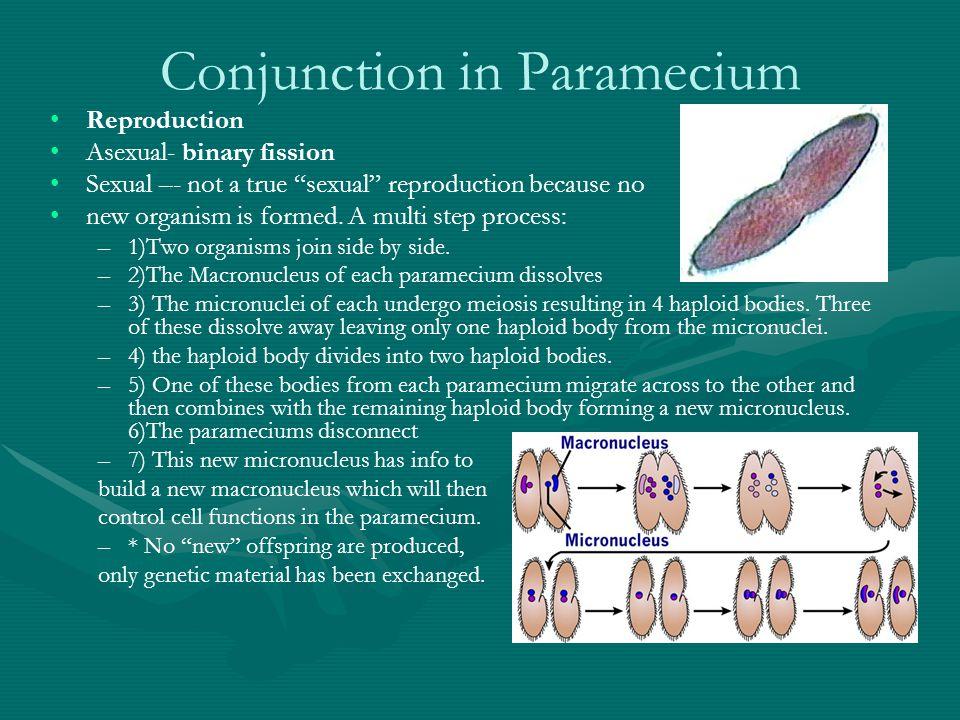 Phylum Ciliophora: Paramecium