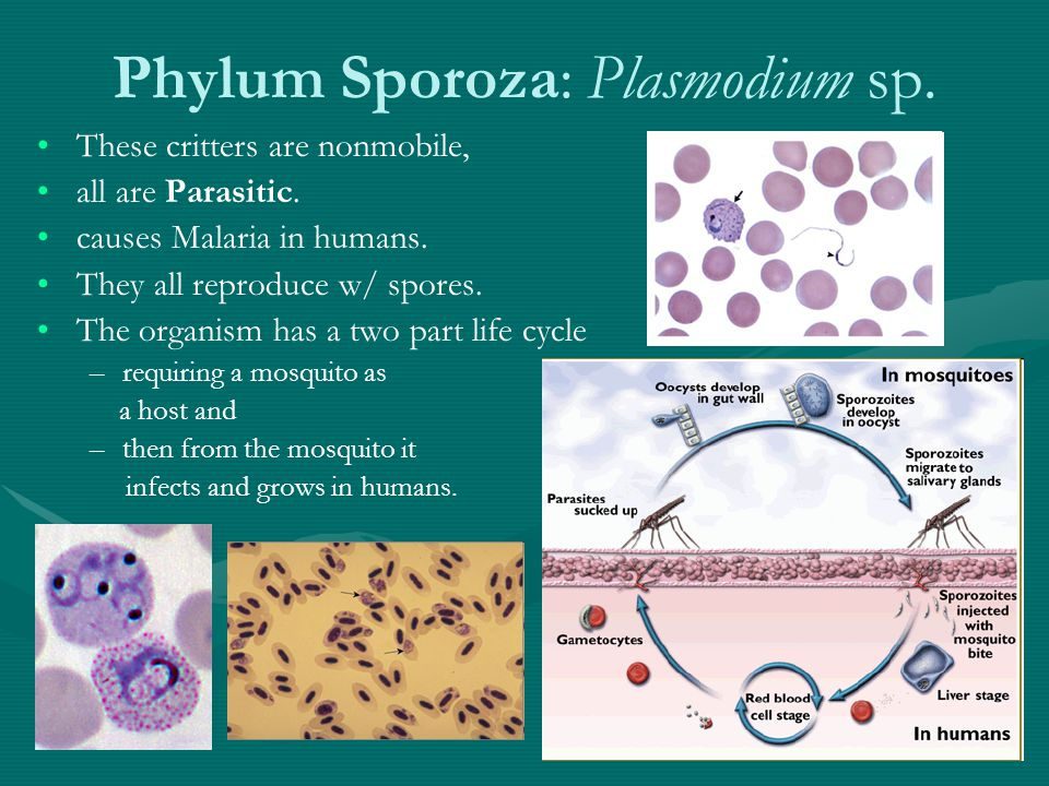 Phylum Sporoza: Plasmodium sp. These critters are nonmobile, all are Parasitic.