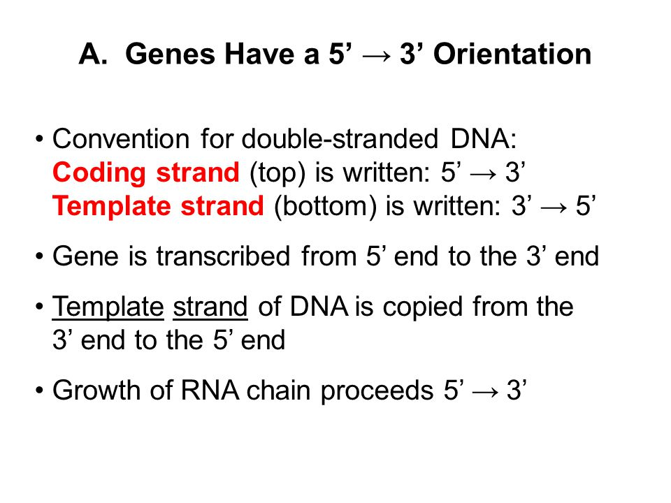 A. Genes Have a 5' → 3' Orientation Convention for double-stranded DNA: Coding strand (top) is written: 5' → 3' Template strand (bottom) is written: 3