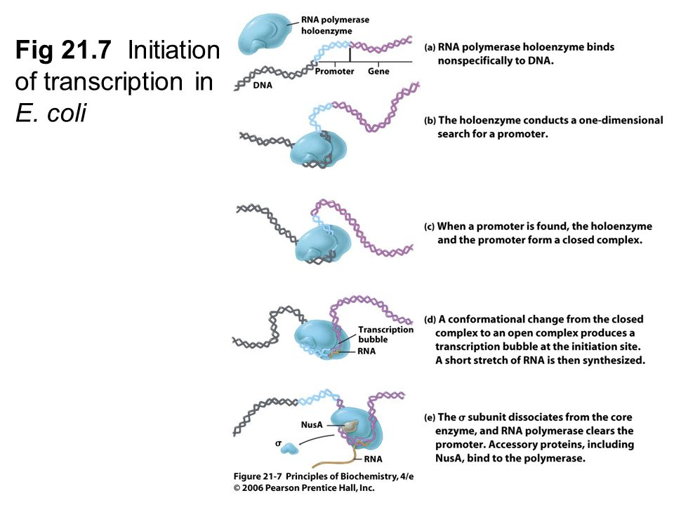 Fig 21.7 Initiation of transcription in E. coli
