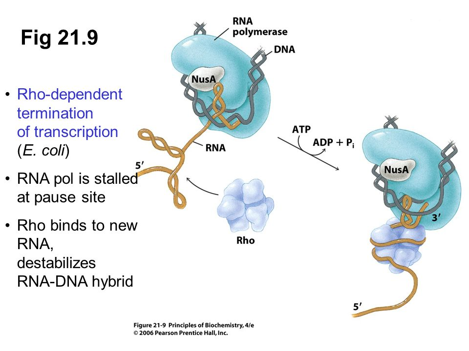 Fig 21.9 Rho-dependent termination of transcription (E. coli) RNA pol is stalled at pause site Rho binds to new RNA, destabilizes RNA-DNA hybrid
