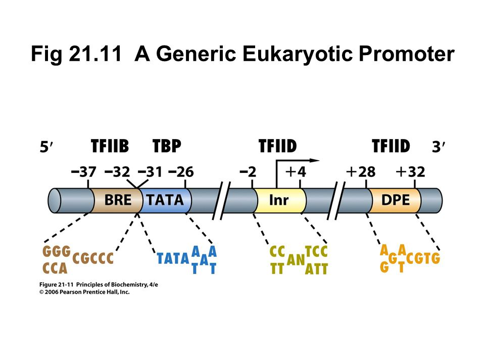 Fig 21.11 A Generic Eukaryotic Promoter