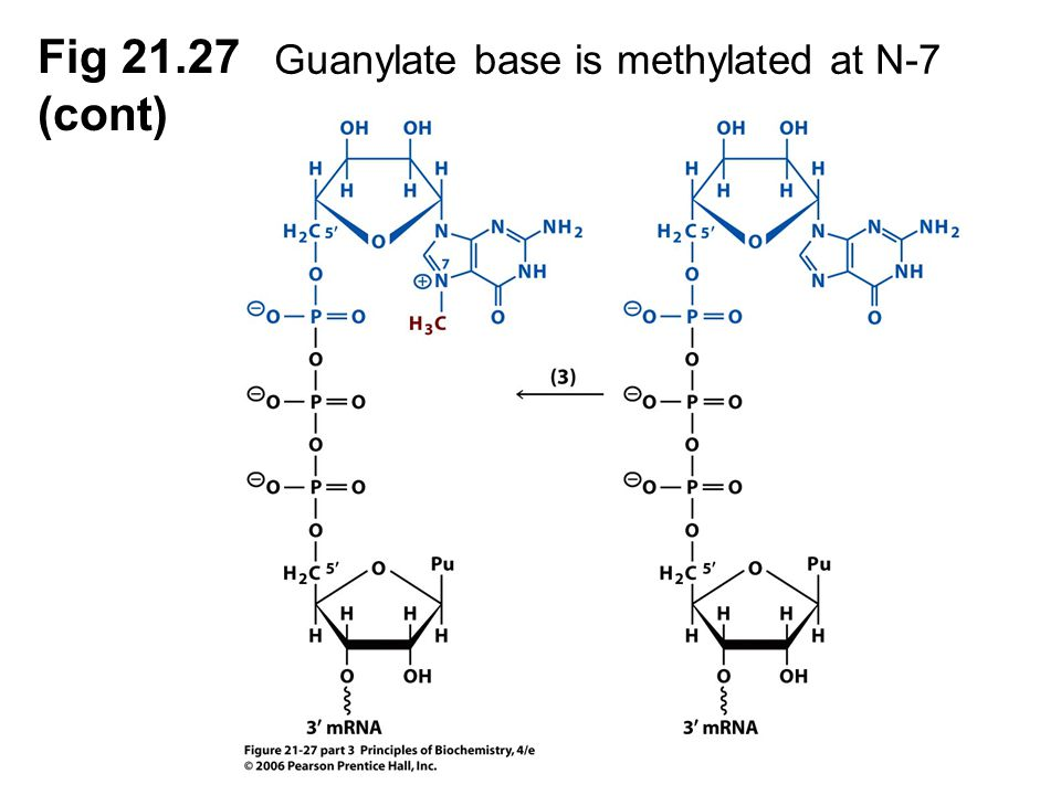 Guanylate base is methylated at N-7 methylase