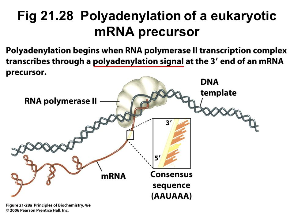 Fig 21.28 Polyadenylation of a eukaryotic mRNA precursor