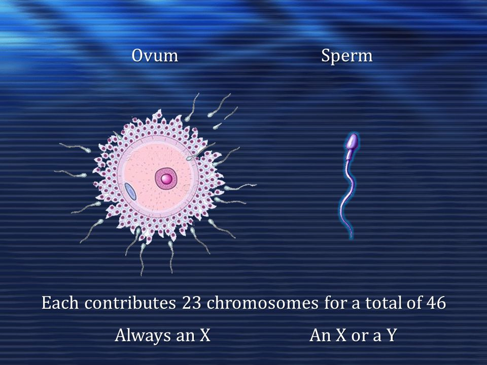 OvumSperm Each contributes 23 chromosomes for a total of 46 Always an X An X or a Y