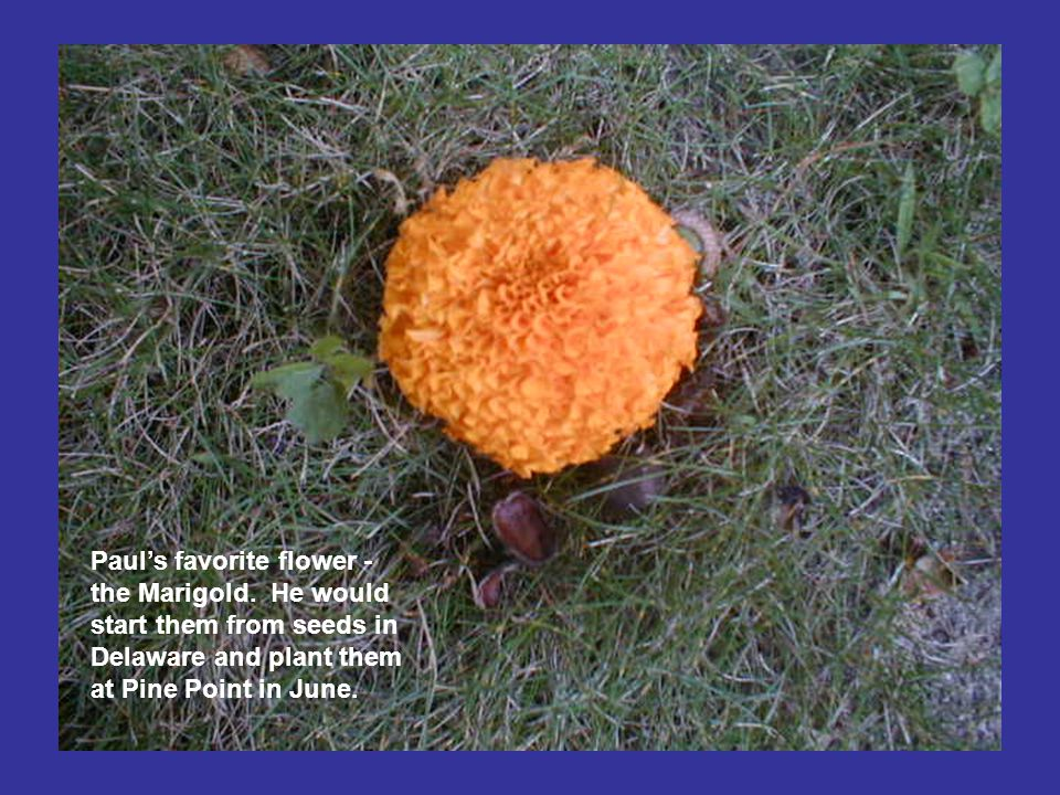 Paul's favorite flower - the Marigold.
