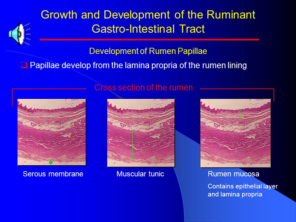 Growth and Development of the Ruminant Gastro-Intestinal Tract   Absorptive ability of rumen tissue.