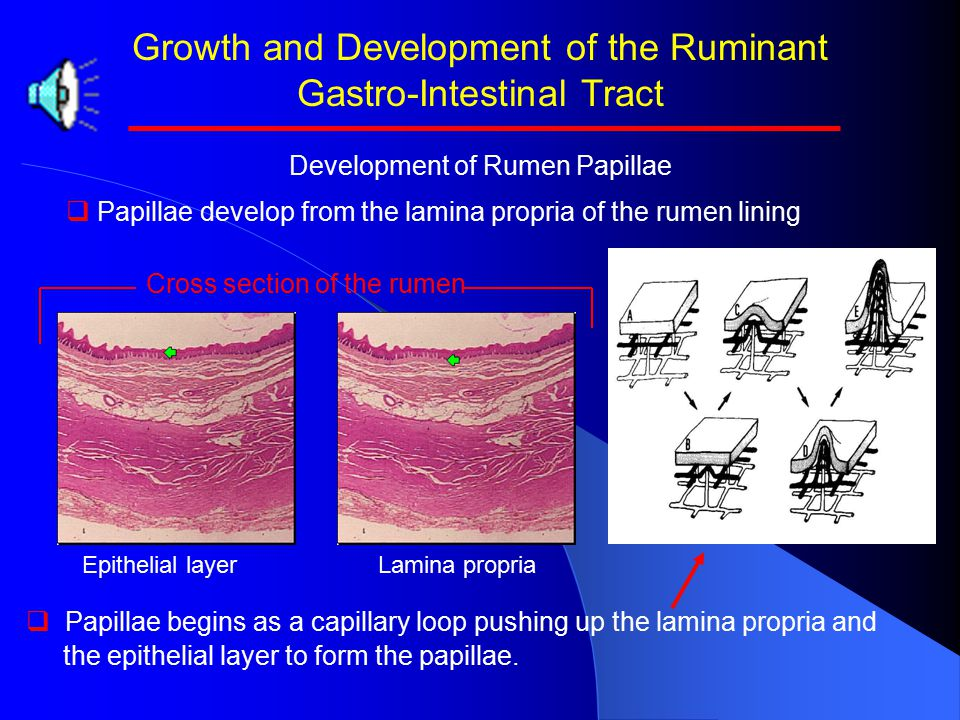 Growth and Development of the Ruminant Gastro-Intestinal Tract Development of Rumen Papillae   Papillae develop from the lamina propria of the rumen lining Lamina propriaEpithelial layer Cross section of the rumen   Papillae begins as a capillary loop pushing up the lamina propria and the epithelial layer to form the papillae.
