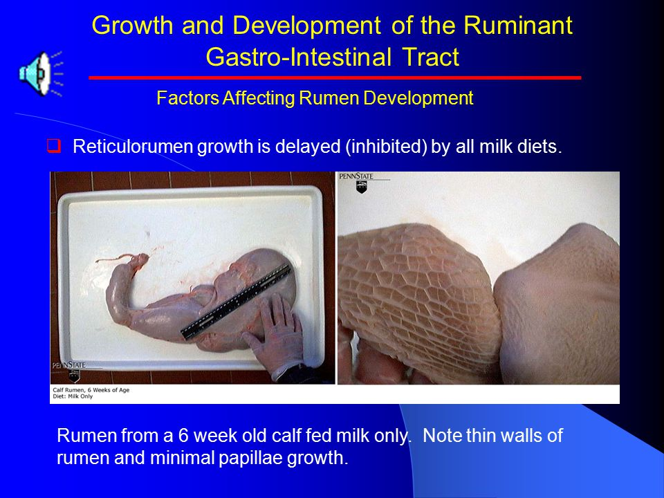 Growth and Development of the Ruminant Gastro-Intestinal Tract   Reticulorumen growth is delayed (inhibited) by all milk diets.