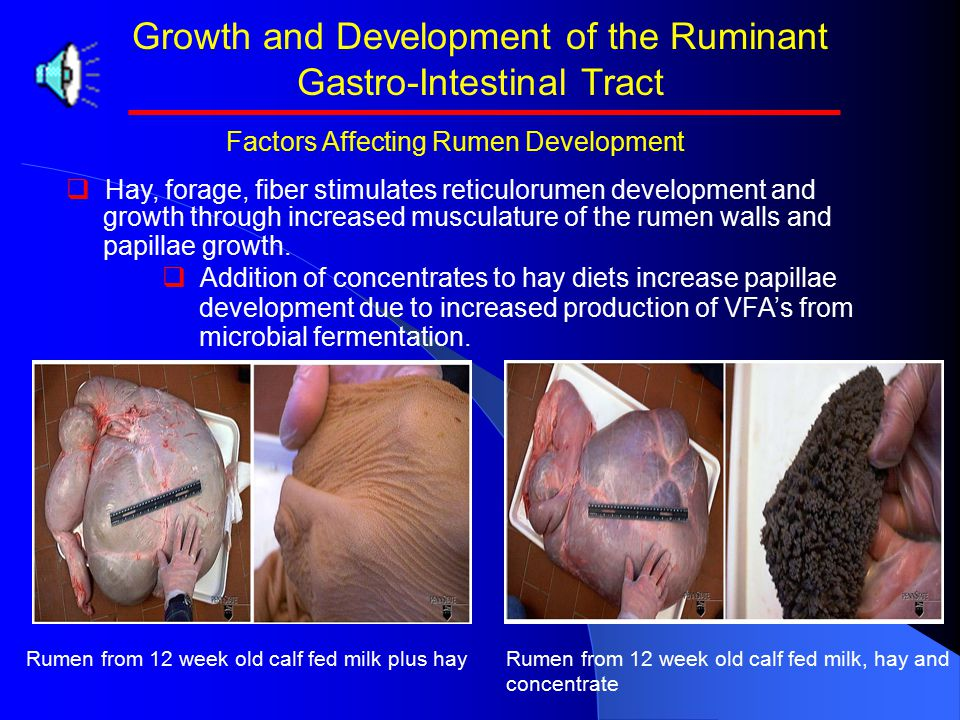 Growth and Development of the Ruminant Gastro-Intestinal Tract   Hay, forage, fiber stimulates reticulorumen development and growth through increased musculature of the rumen walls and papillae growth.