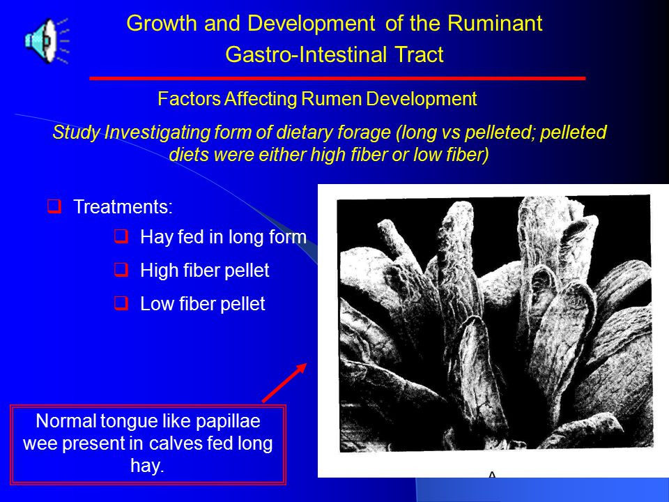 Growth and Development of the Ruminant Gastro-Intestinal Tract Study Investigating form of dietary forage (long vs pelleted; pelleted diets were either high fiber or low fiber)   Treatments:   Hay fed in long form   High fiber pellet   Low fiber pellet Factors Affecting Rumen Development Normal tongue like papillae wee present in calves fed long hay.