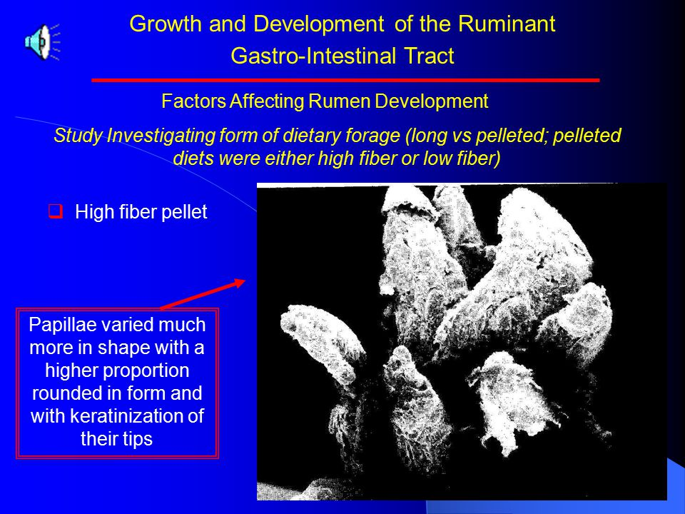 Growth and Development of the Ruminant Gastro-Intestinal Tract Study Investigating form of dietary forage (long vs pelleted; pelleted diets were either high fiber or low fiber)   Treatments:   Hay fed in long form   High fiber pellet   Low fiber pellet Factors Affecting Rumen Development Normal tongue like papillae wee present in calves fed long hay.