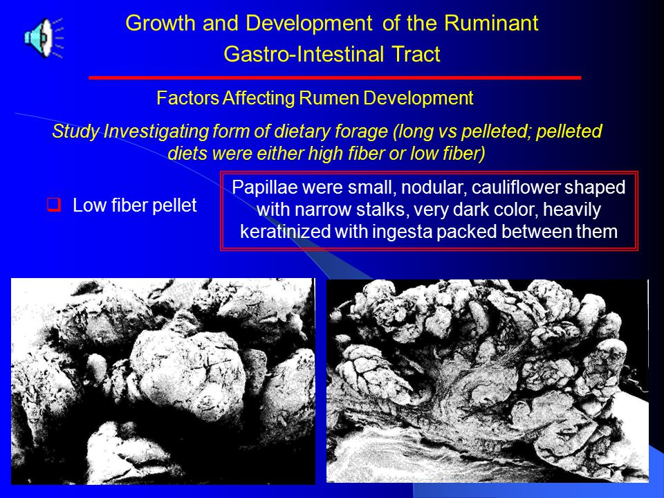 Growth and Development of the Ruminant Gastro-Intestinal Tract Study Investigating form of dietary forage (long vs pelleted; pelleted diets were either high fiber or low fiber)   High fiber pellet Factors Affecting Rumen Development Papillae varied much more in shape with a higher proportion rounded in form and with keratinization of their tips