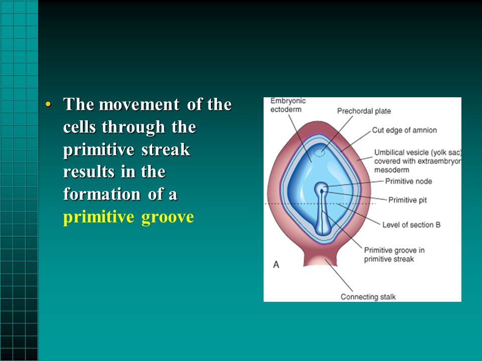 The movement of the cells through the primitive streak results in the formation of aThe movement of the cells through the primitive streak results in