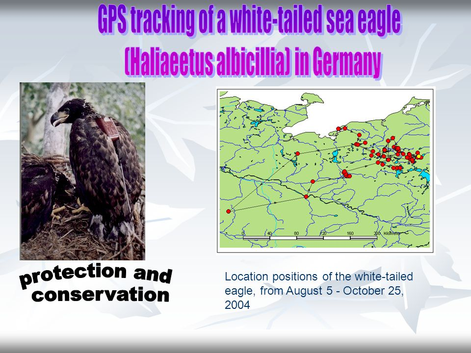 Location positions of the white-tailed eagle, from August 5 - October 25, 2004