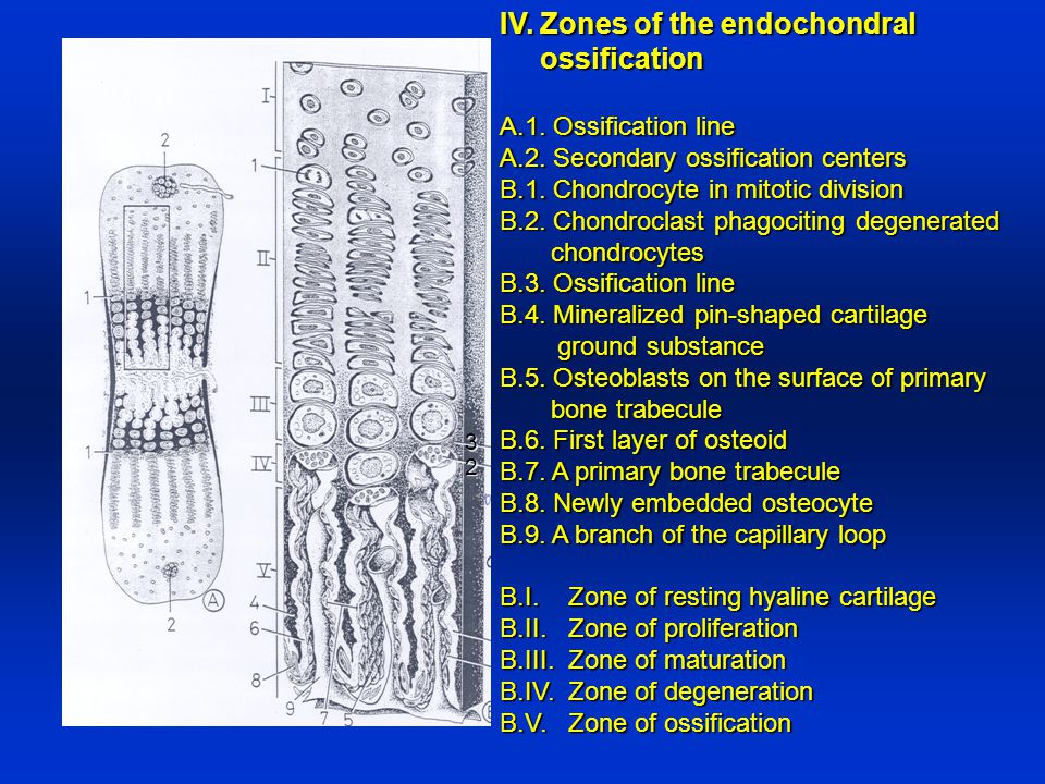 IV. Zones of the endochondral ossification ossification A.1. Ossification line A.2. Secondary ossification centers B.1. Chondrocyte in mitotic divisio