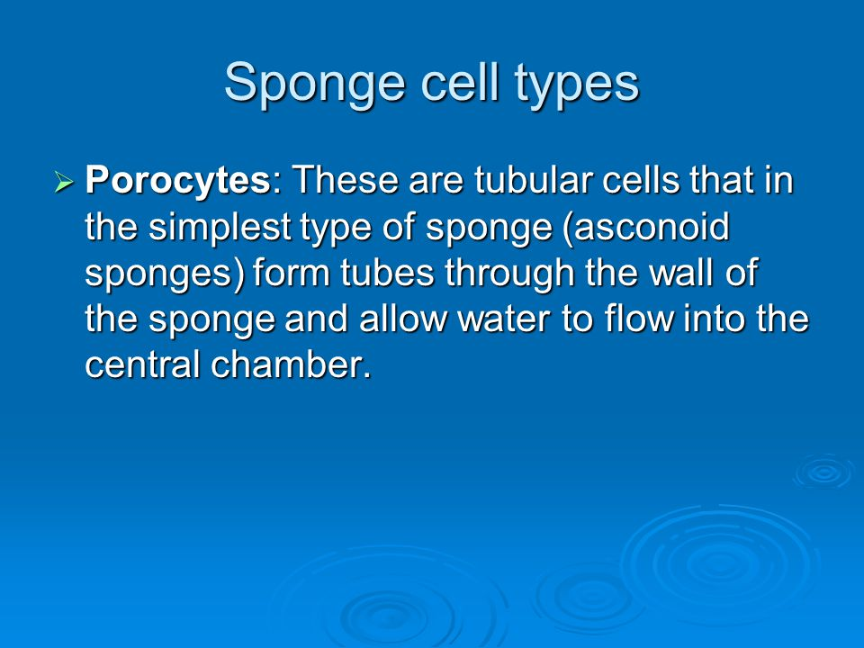 Sponge cell types  Porocytes: These are tubular cells that in the simplest type of sponge (asconoid sponges) form tubes through the wall of the spong