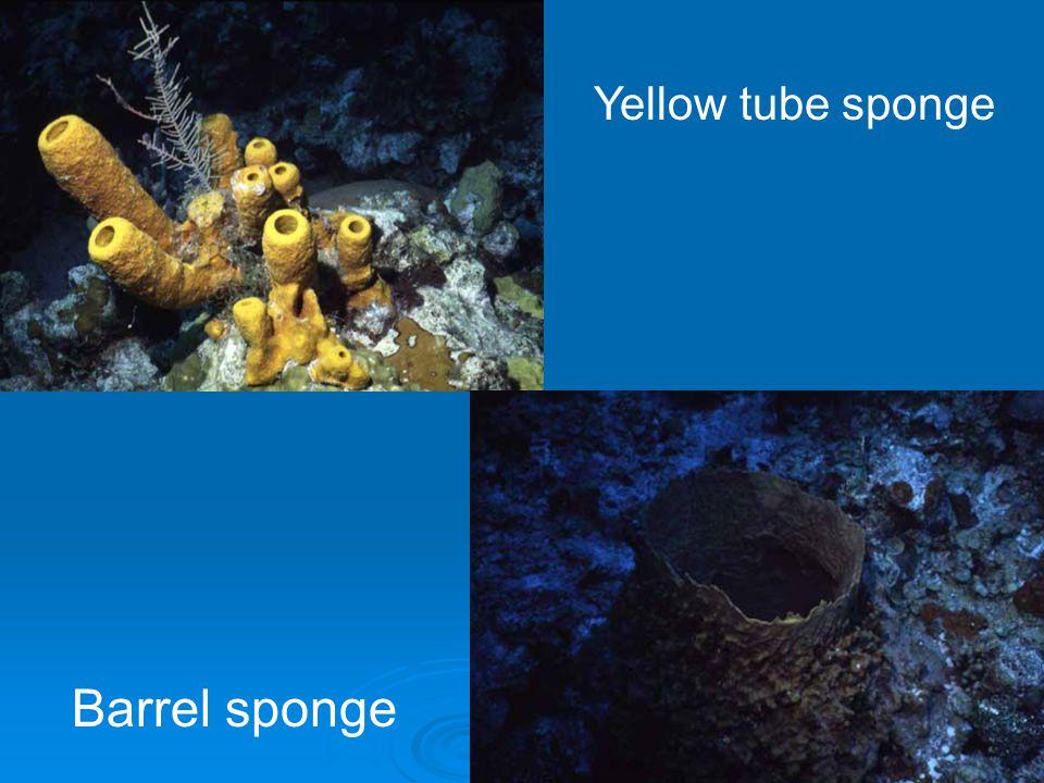 Barrel sponge Yellow tube sponge